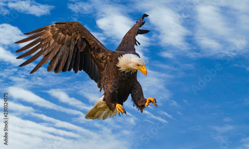 Photo  Bald eagle on the attack