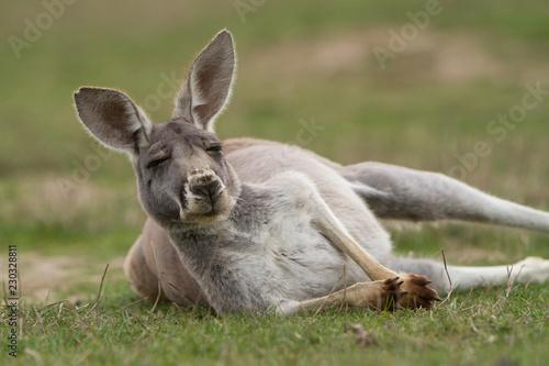 Fotobehang Kangoeroe Kangaroo Looking at Camera