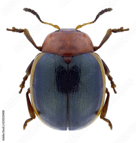 Obraz na plátne Beetle Phaedonia inclusa on a white background