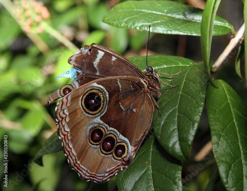 Fotografie, Obraz  Blue Morpho Butterfly on Leaf