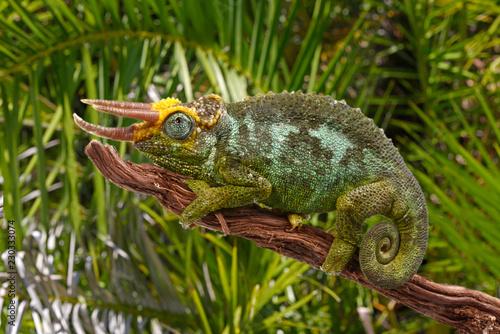 Poster Chamaleon Dreihornchamäleon (Trioceros jacksonii merumontanus) - Jackson's chameleon