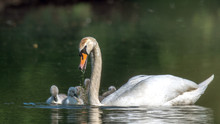 The Mute Swan (Cygnus Olor) Is A Species Of Birds That Belongs Within The Duck Birds (Anatidae) To The Genus Of Swans (Cygnus) And The Subfamily Of Geese (Anserinae). Here To See With Chicks. Concept: