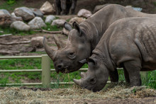 Eastern Black Rhinoceros (Dice...