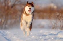 Happy Running Red Husky Dog In...