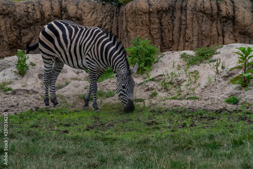 Fotografie, Obraz  Plains Zebra (Equus quagga)