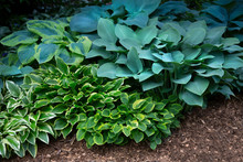 Isolated View Of A Hosta Plant...