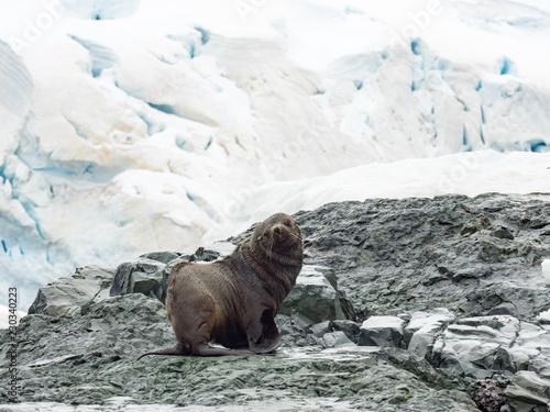 Furt Seal on rock island with snow