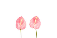 Two Tropical Flowers Isolated