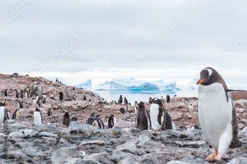 Keuken foto achterwand Pinguin Gentoo Penguin Colony with Walking Penguin