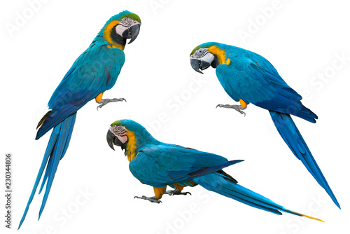 Blue and gold macaw isolated on white background Canvas Print