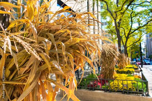 Vászonkép Autumn Display of Cornstalks along Michigan Avenue in Chicago