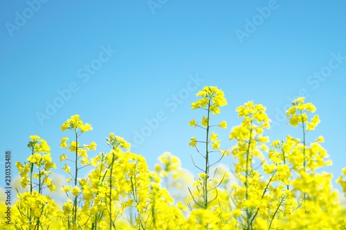 Aluminium Prints Yellow 黄色く染まった菜の花畑
