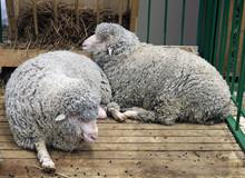 Black Sheep Domestic Merino Sh...