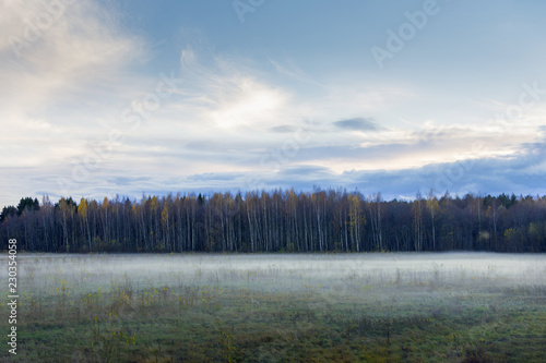 birch grove in the evening fog