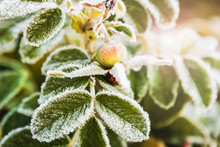Berries And Leaves Of Wild Rose In The Ice Crystals At The First Frost