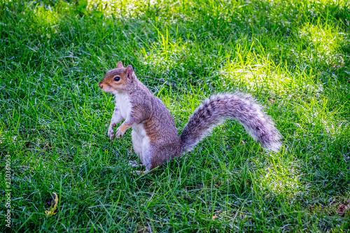Fotografie, Obraz  A Fox Squirrel in Albany, New York