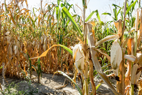 Foto Corn crop suffering from drought