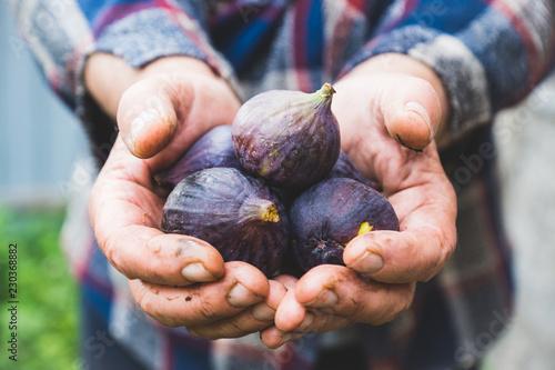 Obraz na plátně  Farmer's hands with freshly harvested figs