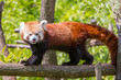 panda roux 2