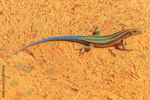 Blue-tailed Sandveld lizard ,Nucras caesicaudata, African lizard in South Africa, living in dry, sandy and savanna areas. Kruger National Park.