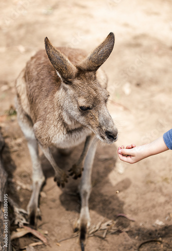In de dag Kangoeroe kangaroo eating from the hand of a child