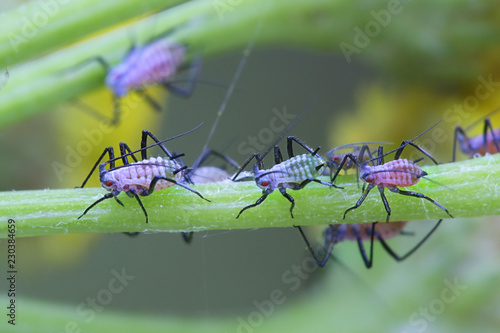 Tansy aphid Canvas Print
