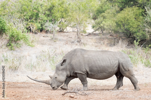 Poster Neushoorn White rhinoceros (Ceratotherium simun), eating, Kruger National Park, South Africa