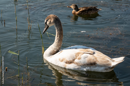 Young swan Cygnus olor. Rare endangered swans on the lake iin Goryachiy Klyuch. Krasnodar region.