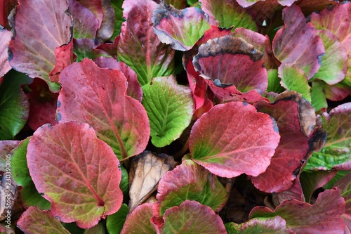Beautiful plant bergenia in the fall on flower bed in the garden. Wallpaper Mural