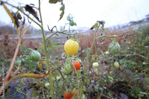 Fotografie, Obraz  Kuriose Entdeckung im Flussbett: In Magdeburg wachsen Tomaten in der Elbe