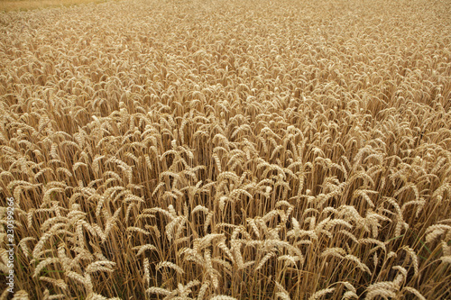 Ripe wheat field. Background texture