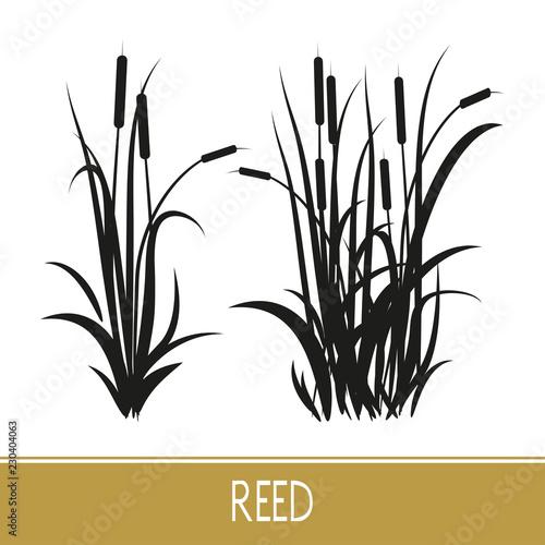Vászonkép Sedge, reed, cane, bulrush