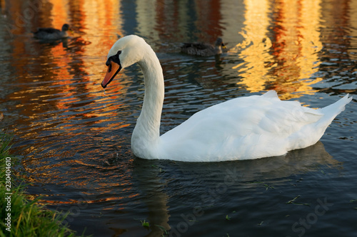 White swan on evening pond