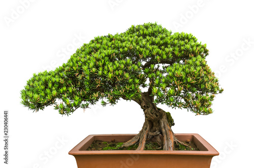 Foto op Canvas Bonsai Bonsai tree on white background