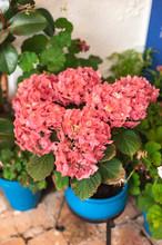Geranium Flowers In Spring At Los Patios De Cordoba Flowers Fair