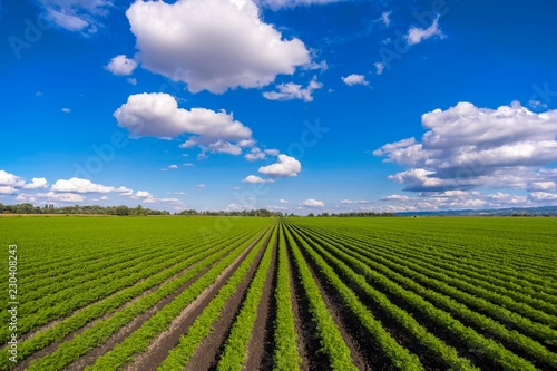 Garden Poster Culture carrot field with blue sky and white clouds