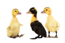 Three Ducklings Standing Together, Isolated On White Background