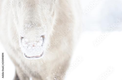 Fotografie, Obraz  CloseUp Maul Pony im Schnee