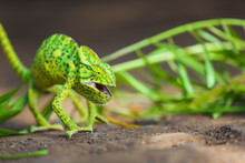 Little Green Female Chameleon  (chamaeleonidae)