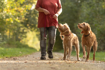 Fototapeta Young and old Magyar Vizsla. female dog handler is walking with her two odedient dog on the road in a forest.