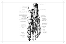 Human Foot Feet Skeleton Bone Anatomy Black And White Vector Illustration