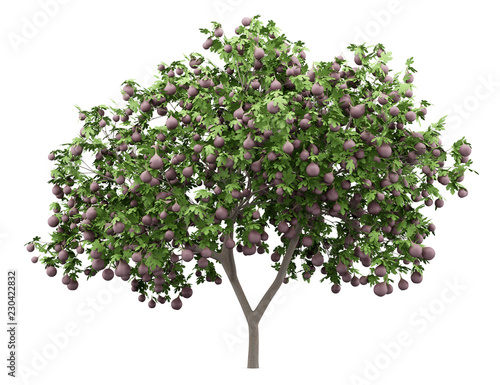 common fig tree with figs isolated on white background