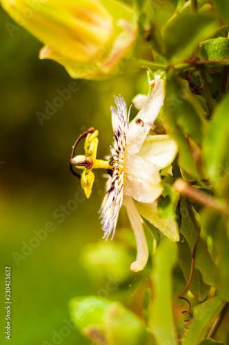 Fotobehang Bloemen Passiflora incarnata blossom flower