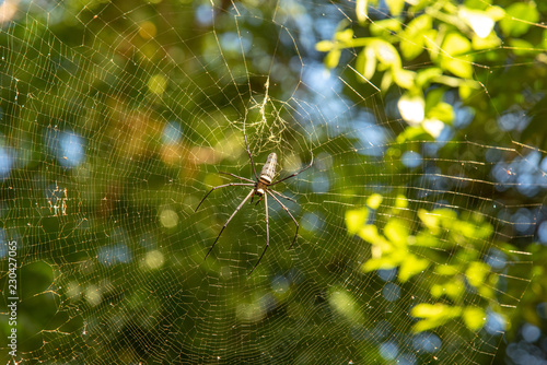 The golden web spider (Nephila maculata ) on web
