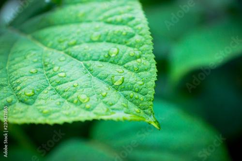 Photo Leaves of Actinidia kolomikta