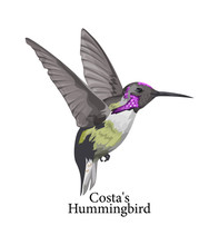 Costas Hummingbird Wild Bird W...