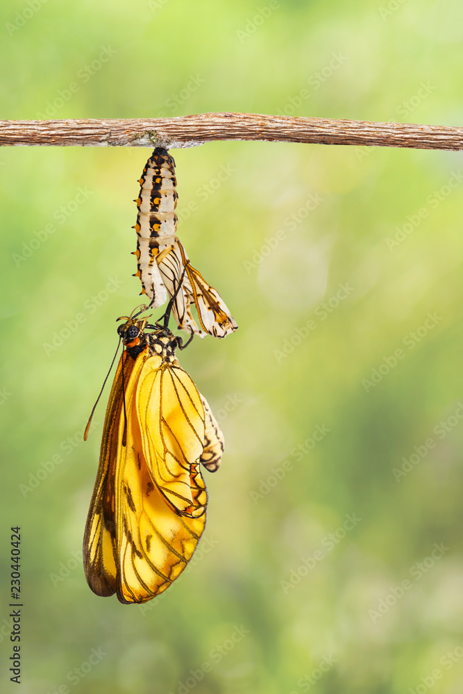 Emerged yellow coster butterfly ( Acraea issoria ) and mature chrysalis hanging on twig