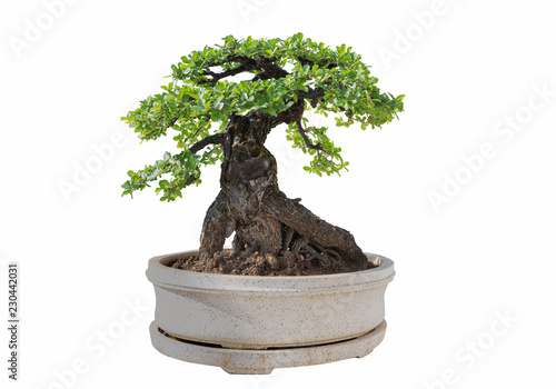Recess Fitting Bonsai Bonsai tree isolated on white background. Its shrub is grown in a pot or ornamental tree in the garden.