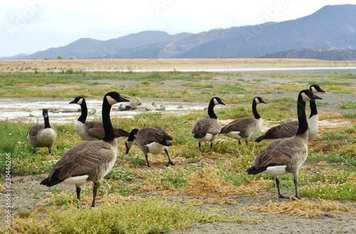 Canada geese in california Lake Elsinore