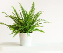 Houseplant Nephrolepis In White Flowerpot